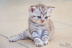 Small Scottish fold kitten the age of 1 month