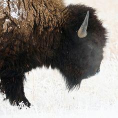 okla bison