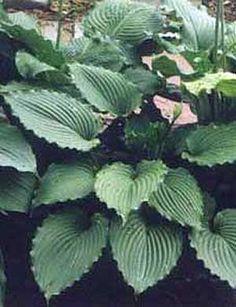 Green Hosta