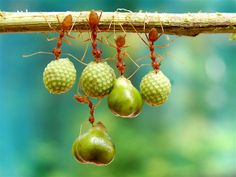 Ant antics! Insects show off amazing strength, teamwork (Eko Adiyanto / Caters News Agency)