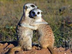 Meerkats are so cute!