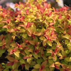 Buy Japanese spirea Goldflame Spiraea japonica 'Goldflame' - Young leaves are a delicious bronze red: Delivery by Waitrose Garden Small Garden Shrubs, Sun Garden, Small Gardens, Garden Plants, Front Gardens, Flowering Shrubs, Garden Gate, Spirea Shrub, Gardens