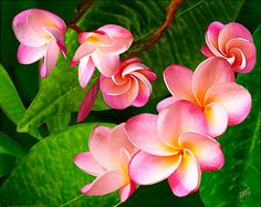 Pink Plumeria contemporary art, canvas art, wall art, art print, giclee print tropical artwork
