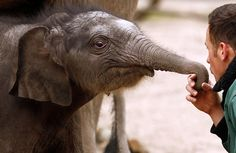 A weeks-old Asian elephant bull (Elephas maximus) named Assam plays with keeper Robert Schieritz during his first appearance in the outdoor enclosure at the Hagenbeck zoo in Hamburg, Germany