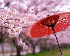I walked through the park On a Spring morning Admiring the cherry blossom That dripped off the trees And on impulse I put up my parasol To catch the blossoms That the breeze Breathed on to it A Jap. Cherry Blossom Meaning, Cherry Blossom Japan, Cherry Blossoms, Japanese Geisha, Japanese Art, Japanese Landscape, Japanese Style, Japan Crafts, Japan Garden