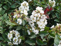 Lagerstroemia indica White Chocolate Crepe by arborfieldplants