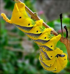 I'm normally not a fan of bugs, but this Deathhead Hawk Moth Caterpillar is very pretty hanging upside down