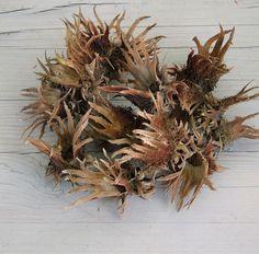 Csodaszép természetes száraz díszítő: a mogyoró terméstokja. Naturális ajtódíszek kedvelt kelléke.