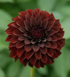 Dahlia 'Black Satin' is a good cut flower.
