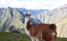 """""""This llama on the Inca Trail was a total ham. He loved having his picture taken!"""" (From: 45 Beautiful Photos of South America)"""