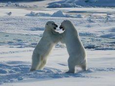 North Spitsbergen, Polar Bear Special