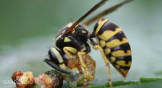 Important read! 'Are paper wasps worth the sting?'