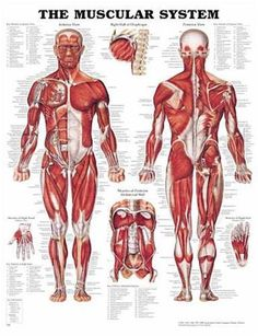 $12.95 AUD - The Muscular System Poster | $7 Postage In Aust | Fast Shipping Within 24-48 Hrs #ebay #Collectibles