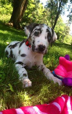 Beautiful great dane puppy.