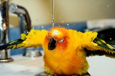 Bathing sun conure. Jenga prefers the sink to the shower now. Probably because all attention is on him.
