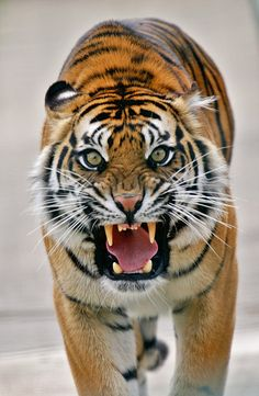 Tiger Somewhat Upset. Nature Animals, Animals And Pets, Cute Animals, Big Cats, Cool Cats, Beautiful Cats, Animals Beautiful, Grand Chat, Angry Tiger