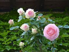 Rose Family, Poster Prints, Art Prints, Pink Roses, Planting Flowers, Floral Wreath, Nature, Gardening, Vise