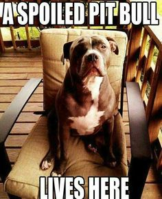 Uplifting So You Want A American Pit Bull Terrier Ideas. Fabulous So You Want A American Pit Bull Terrier Ideas. I Love Dogs, Puppy Love, Cute Dogs, Awesome Dogs, Mastiff, Pitbull Pictures, Pitbull Pics, Funny Pictures, Dog Shaming