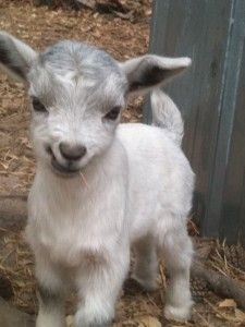 Essential kid care. Nothing cuter than baby goats!