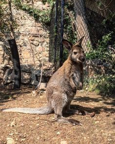 As you make your way through the gates of Australia Walkabout, you will probably be greeted by one of the members of our red-necked wallaby… Cheyenne Mountain Zoo, Walkabout, Gates, Cute Animals, Australia, Make It Yourself, Cool Stuff, Red, Instagram