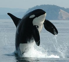 Killer whale <3 lets fight to get them out of captivity and keep them in the wild where they belong! Say no to Sea World!