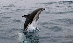 Image result for dusky dolphin
