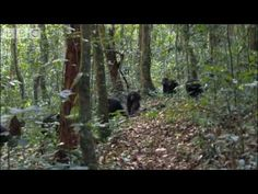 Sir David Attenborough narrates this violent and bloody natural history video recording the disturbing scenes of a real Chimpanzee territorial attack. Truly ...