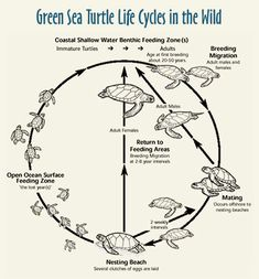 the Life Cycle of marine turtlesDiagram depicting the Life Cycle of marine turtlesdepicting the Life Cycle of marine turtlesDiagram depicting the Life Cycle of marine turtles The Equine Hock: What Horse Owners Should Know - Thal Equine LLC Sea Turtle Life Cycle, Small Shark, Vet Assistant, Girl Scout Activities, Caribbean Vacations, Veterinary Medicine, Marine Biology, Zoology, Life Cycles