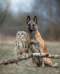 Ingo the Malinois and his friend