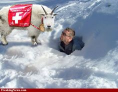 Swiss rescue goat