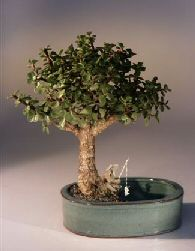 "This succulent bonsai, also known as the ""Elephant Bush"", is native to South Africa and has pale green leaves that are almost round and about one-third the size of the common Jade plant.  The fleshy trunk, branches, and leaves are used to store water.  Our tree is planted in a water pot which has a well on one side that holds water.  We include a fisherman figure with a fishing pole and a ceramic fish. An excellent bonsai tree for the home or office."