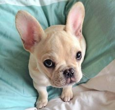 """OK, you said no, but I have French Bulldog Puppy Face, so YES, right?""❤️❤️❤️"