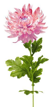 Gify,animacja,obrazki PNG: Kwiaty do dekoracji Art Floral, Botanical Flowers, Botanical Prints, Botanical Drawings, Crisantemo Tattoo, November Flower, Impressions Botaniques, Chrysanthemum Flower, Flower Pictures