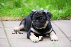 Cute Puppies Pugs Color