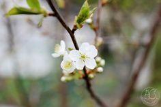 Oravankesäpesä | Luumupuu Prunus domestica