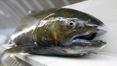 The Chinook salmon also makes the list. The salmon fishing season in California and parts of Oregon was canceled earlier this year because of low numbers of fish returning to the Sacramento River to spawn.