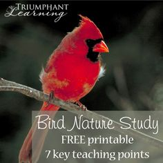 Bird nature study is perfect for all ages. Learn the seven key features of birds and how to attract them to your backyard. Resources for bird nature study.
