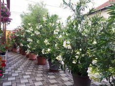 Így lettek álomszép leandereim | Balkonada Florida, Plants, Decor, Gardening, Scenery, Witch, Decoration, The Florida, Lawn And Garden