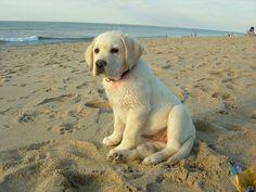 Lab puppy on beach
