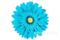 gerbera daisy - october flower