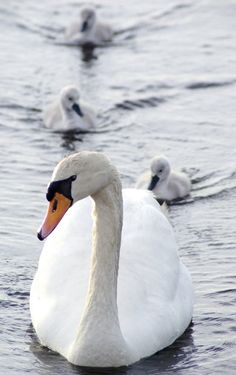 : Cisnes - Swans A selection of bird photos Beautiful Swan, Beautiful Birds, Animals Beautiful, Baby Animals, Cute Animals, Swan Lake, Creature Design, My Animal, Bird Feathers