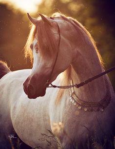 «Arabian Times››  арабские лошади 