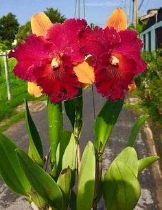 How to Care for Orchids So They Live & Grow Them Correctly So They Bloom: Learn How You Can Care for Your Orchids Quickly & Easily The Right Way Before You Kill Them Slowly & Painfully The Wrong Way All Flowers, Growing Flowers, Exotic Flowers, Beautiful Flowers, Orchid Varieties, Red Orchids, Cattleya Orchid, Cactus, Blue Bouquet