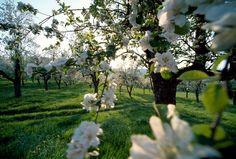 Apfelblüten in der Steiermark <3 Garden Sculpture, Places To Go, Beautiful Places, Outdoor Decor, Plants, Career, Home Decor, Nice Asses, Carrera