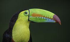 Keel-billed Toucan Portrait by Daniel Parent - Photo 101655405 - 500px