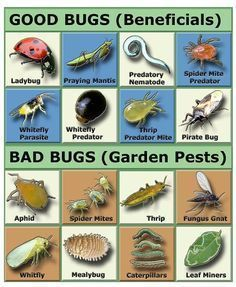 Natural Garden Pest Control- You really need to be careful introducing non native bugs into your area. Asian Ladybugs were brought here they are NOT the same as our old fashioned ladybugs! They bite, emit a foul smelling toxin have no predators. My house Garden Bugs, Garden Insects, Garden Pests, Garden Care, Garden Fertilizers, Herbs Garden, Edible Garden, Growing Plants, Growing Vegetables