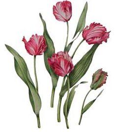 """Tulip """"Estelle Rynveld"""""""