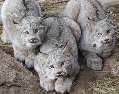 * * I LOVE LYNX. THEY ALWAYS LOOK SO CONGENIAL, BUT COULD EASILY RIP YOUR FACE OFF. LOL