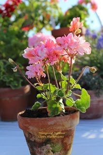 Lìga's pelargoniums.: 'Honeywood Suzanne '