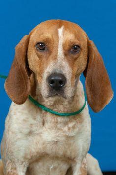 Mutt dog for Adoption in Johnson City, TN, USA. ADN-796030 on PuppyFinder.com Gender: Male. Age: Adult. Nickname: Red